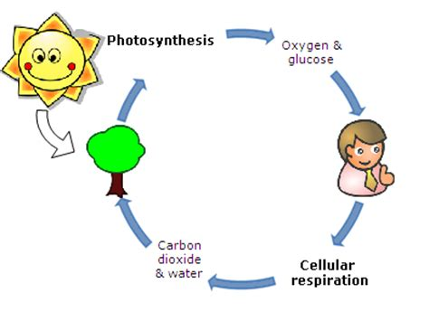 Ap biology essay questions photosynthesis