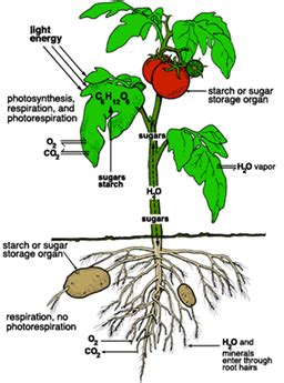 AP BIOLOGY - Cellular Respiration and Photosynthesis